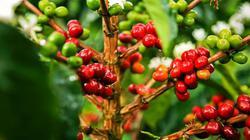 """Giá nông sản hôm nay 8.7: Cà phê đi lùi dự báo, hồ tiêu """"chết đứng"""" suốt 1 tuần"""