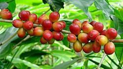 Giá nông sản hôm nay 9.7: Cà phê đột ngột giảm mạnh, tiêu sắp đạt 80.000 đ/kg
