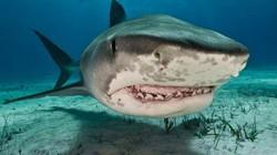 Mỹ: Cả gan tóm đuôi cá mập hổ và cái kết máu me