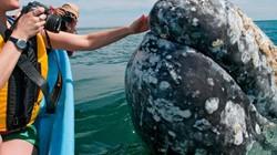 Cá voi khổng lồ liên tục lao lên đòi vuốt ve ở Mexico
