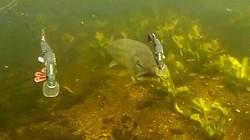 """Loài """"thủy quái"""" nước ngọt hung dữ với cú cắn cực độc"""
