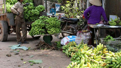 Đồng Nai: Nông nghiệp điêu đứng vì cà, xoài, chuối, lợn