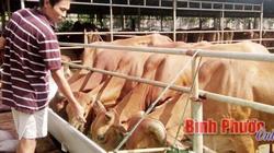 Bỏ đống tiền nuôi cả trăm con bò, chỉ lo không thuê được người chăm