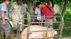 Giá lợn hôm nay 19.7: Khó tăng đến 50.000 đ/kg, C.P khó can thiệp?