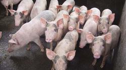 Giá lợn hôm nay 20.7: Lợn giống 1,7 triệu/con, tái đàn hay không?