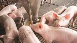 """Giá lợn hôm nay 20.7: Có hay không việc C.P """"thổi"""" giá?"""