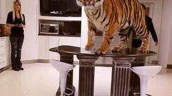 Những gia đình nuôi hổ, cá sấu như chó mèo trong nhà
