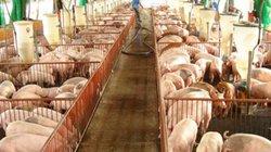 Giá lợn hôm nay 24.7: Công ty C.P nói gì về đợt tăng giá lần này?