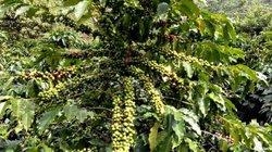 Giá nông sản hôm nay 25.7: Giá cà phê tụt sâu 800 đ/kg, hồ tiêu tăng nhẹ