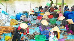 Cá sặc rằn giảm 8.000 đồng/kg, người nuôi khổ sở bắt cá... nhịn ăn
