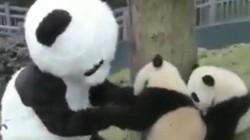 """Nghề """"siêu hot"""" đóng giả gấu trúc để chơi với gấu con"""