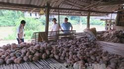 Thái Nguyên: Bí đỏ giá 1.000 - 2.200 đ/kg, dân băm dần cho lợn ăn