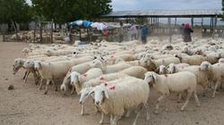 Làm gì để Nam Trung Bộ trở thành thủ phủ thịt cừu, đà điểu