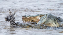 Cặp cá sấu tham lam thi nhau đớp ngấu nghiến ngựa vằn