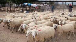 """Cừu, bò được ăn ngon, đi dạo mát trên vùng """"chảo lửa"""""""