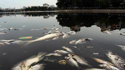 Sau mưa lớn, cá chết lại nổi trắng mặt hồ ở Hà Nội