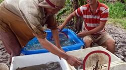 Tỷ phú kỳ công nuôi cá chình giữa bưng biền Cà Mau