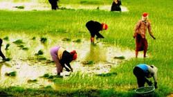 """Lúa được """"ăn"""" phân Văn Điển, thu nhập cao hơn 5,2 triệu/ha"""