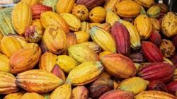 Cụ ông 70 tuổi, chọn về nước để làm chocolate đầu tiên ở đất Việt