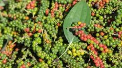 Giá nông sản hôm nay 8.8: Giá tiêu, cà phê tăng cao nhất 3 tháng