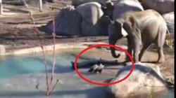 Ngỗng bạo gan dạy cho voi một bài học