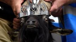 Mang dê núi về tôn làm vua ở Ireland