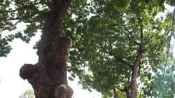 """TP.HCM: """"Hy sinh"""" hàng trăm cây xanh để giảm ách tắc giao thông"""