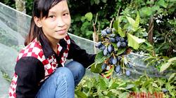 Trám đen Thanh Chương vào mùa, thu hoạch mỏi tay cũng không đủ bán