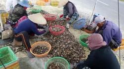 Nghề bắt thức ăn cho tôm hùm kiếm 300.000 đ/ngày