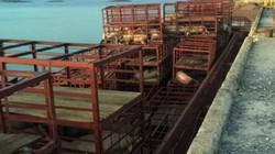 Gần 7 tấn lợn chết cập cảng ở Quảng Ninh