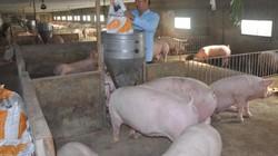 """Giá lợn hôm nay 29.8: Quay về mốc 27.000 đồng/kg, xuất hiện lái gom lợn """"huế"""" hàng loạt"""