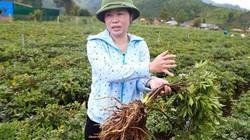 Liều chặt bỏ 10ha cà phê để trồng dược liệu, chị Huệ thu lãi cao
