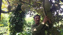 Chỉ bán quả từ 163 cây sầu riêng mà lãi ròng 300 triệu đồng