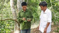 Bỏ ngô sắn chuyển sang trồng dổi ghép, bán hạt khô giá 2 triệu/kg