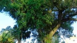 """Chuyện đời của """"cụ cây"""" từng trải qua 7 thế kỷ tại VN"""