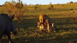 Đang ân ái, cặp sư tử phải bỏ chạy vì bị tê giác đuổi