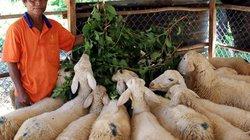 Anh Chamaléa Sướng sống sung túc, ấm no nhờ nuôi cừu, dê