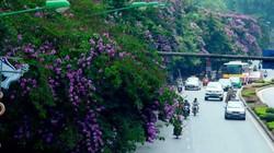 HN: Tiếp tục chặt hạ, di chuyển 130 cây xanh trên đường Kim Mã