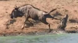 Hà mã cứu linh dương đầu bò thoát khỏi hàm cá sấu