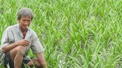 Lạ mà hay: Trồng 10 công lan như cấy lúa, chỉ bán củ, thu nửa tỷ