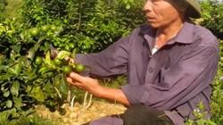 Chanh đào hết thời thu 1 triệu/cây, giờ bán rẻ như cho
