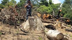 Bí thư Bình Định: Có cả bộ máy mà để lâm tặc ngang nhiên phá rừng!