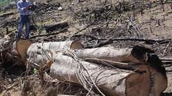 Vụ 43,7ha rừng bị xóa sổ ở Bình Định: Lâm tặc chuyển gỗ đi đâu?