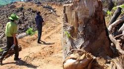 Vụ 43,7ha rừng bị xóa sổ ở Bình Định: Khởi tố vụ án hình sự