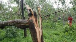 Quảng Trị: Đau đớn nhìn 500 ha cao su bị bão số 10 quật ngã