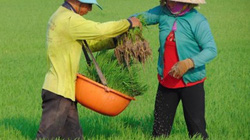 Về xã có hơn 100 nông dân 20 năm trồng lúa không phun thuốc trừ rầy