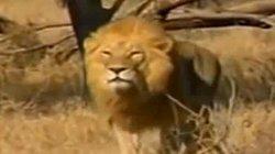 Báo đốm sư tử đấu nhau kết quả sẽ thế nào?