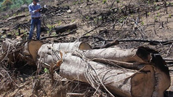 Nóng: Công an bắt 2 nghi phạm phá rừng quy mô lớn tại Bình Định