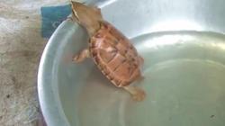 """""""Tóm gọn"""" rùa vàng lạ khi đi bắt cá ở ao trong vườn"""
