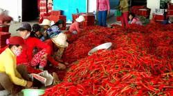 Giá ớt cuối vụ tăng gấp 5-6 lần, nông dân vẫn buồn như trấu cắn
